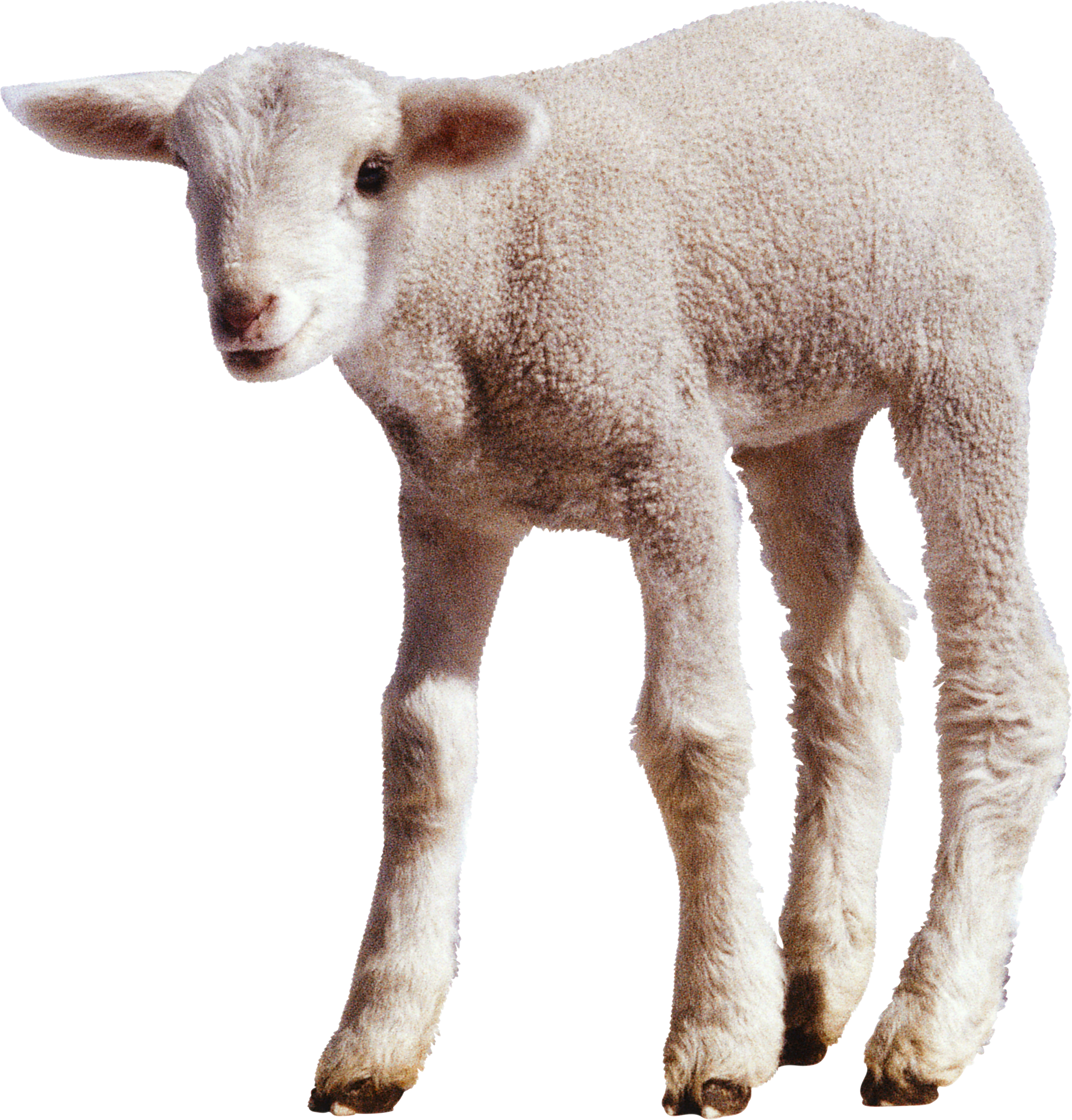 white little sheep PNG image - Baby Lamb PNG