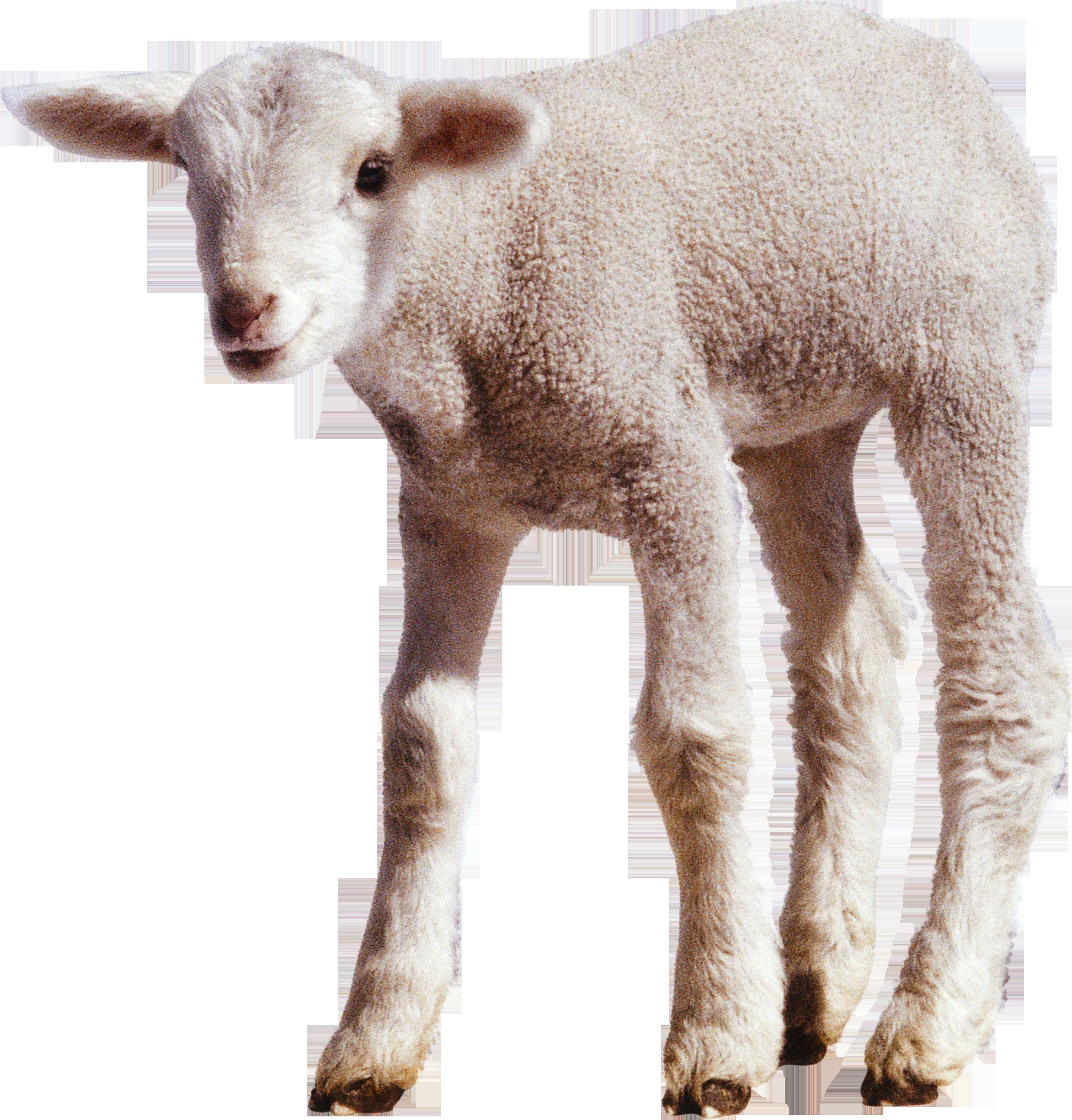 Baby Lamb PNG - 46747