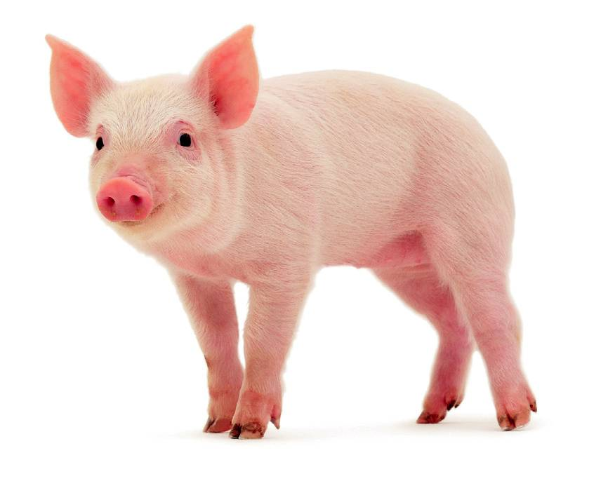Baby Pig PNG HD - 129635