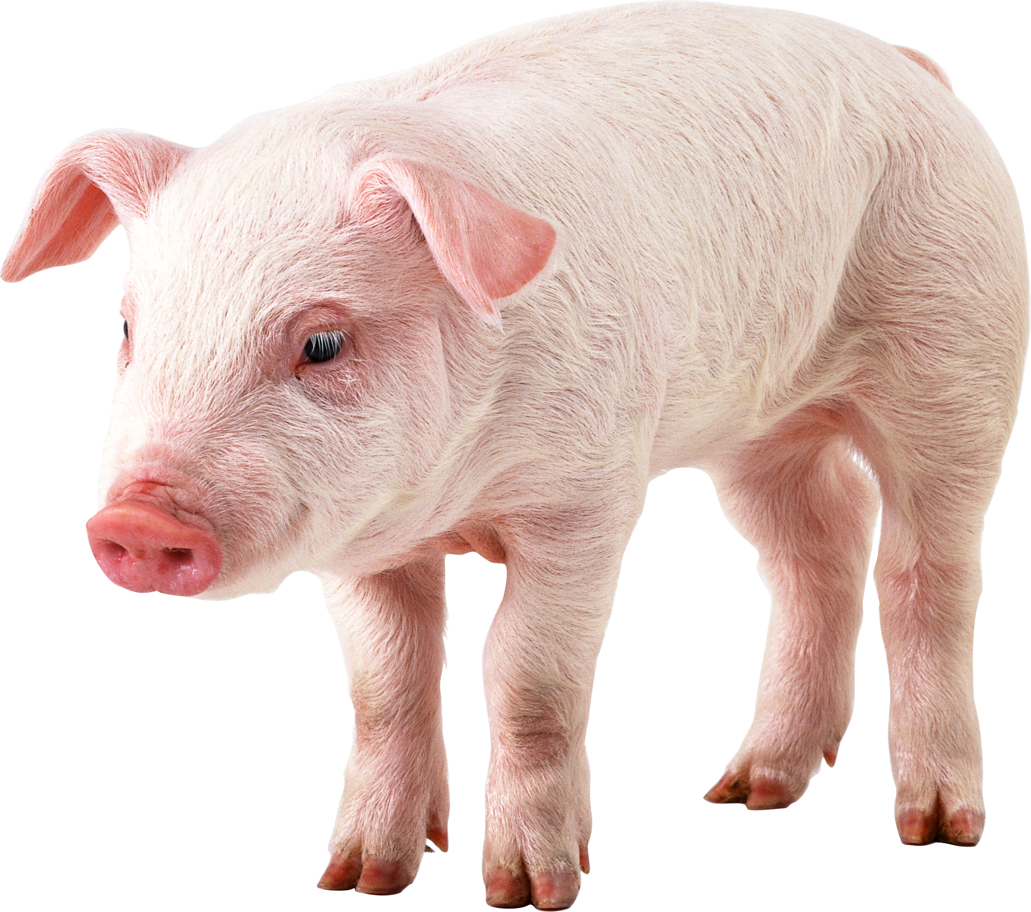 Baby Pig PNG HD - 129632