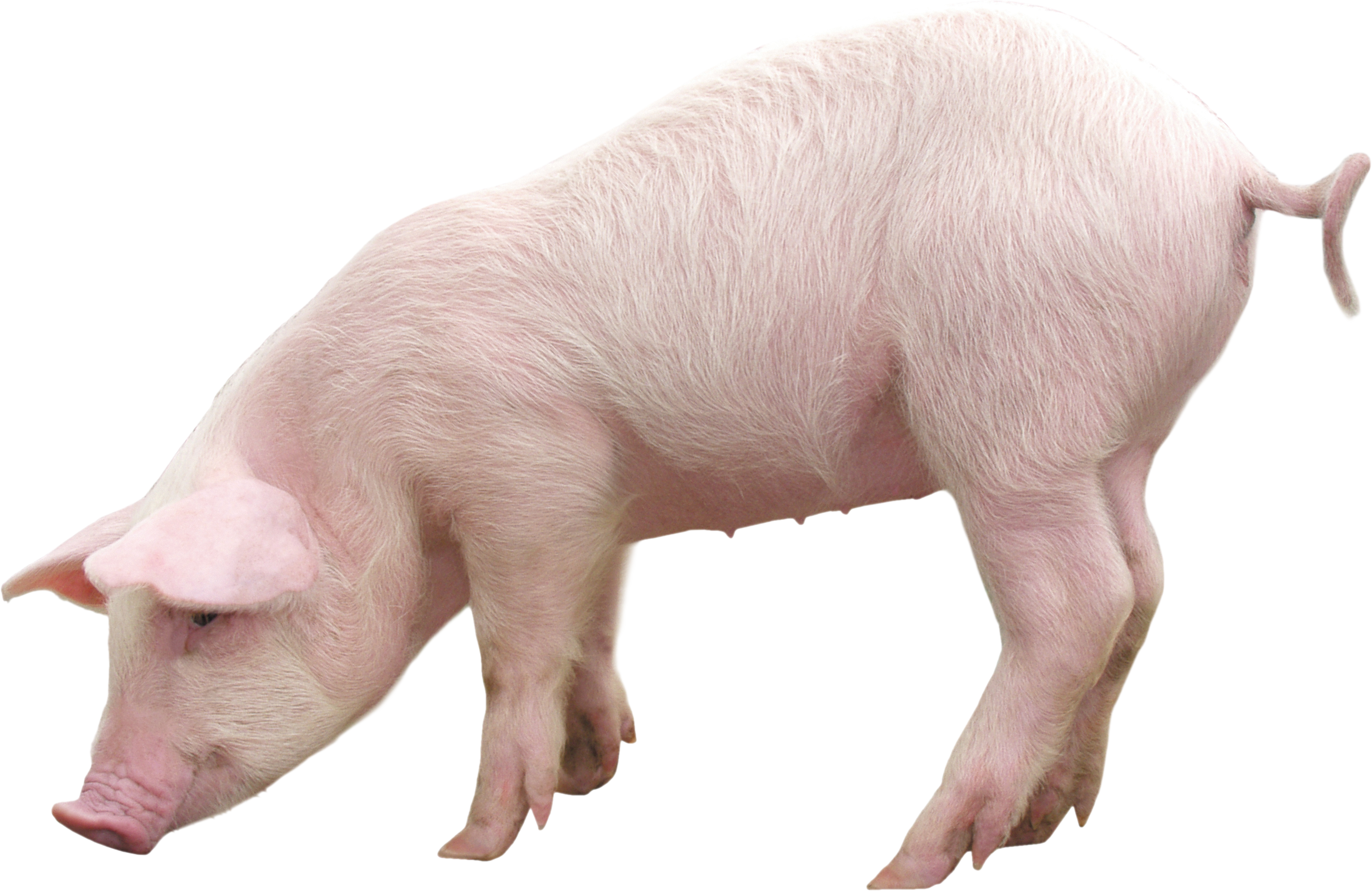 Baby Pig PNG HD - 129631