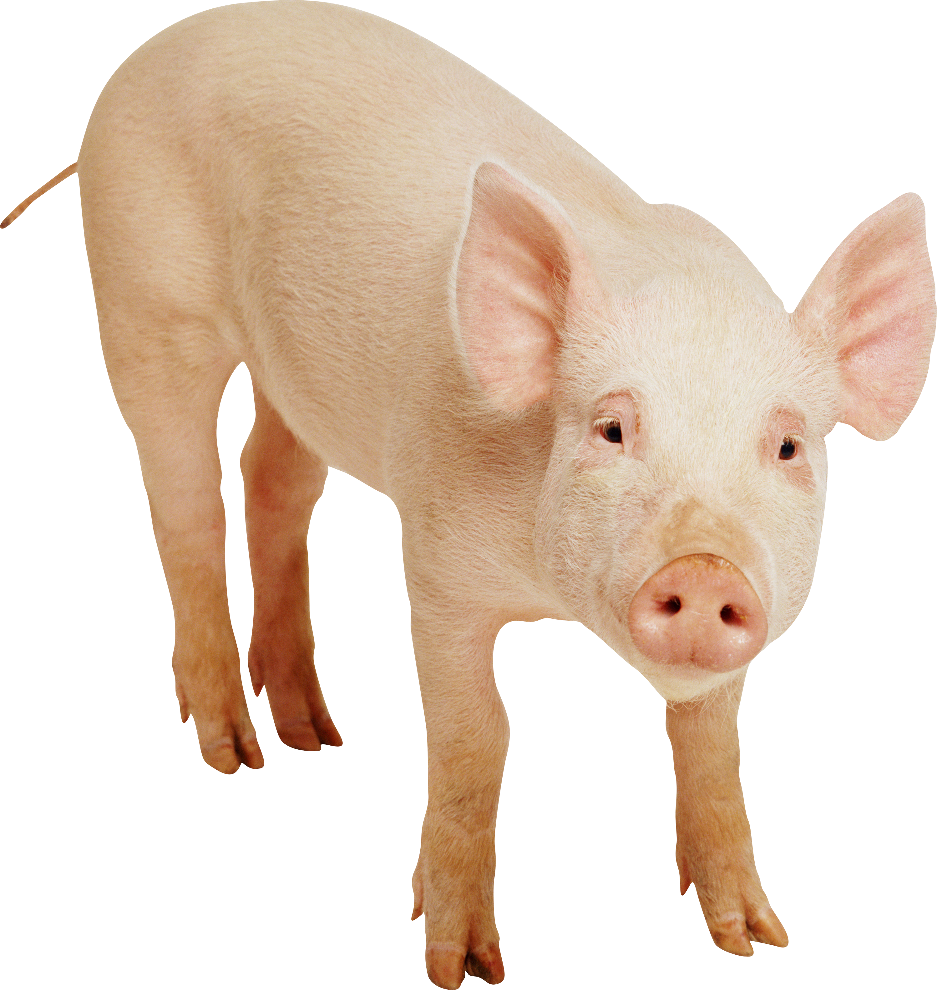 Baby Pig PNG HD - 129636