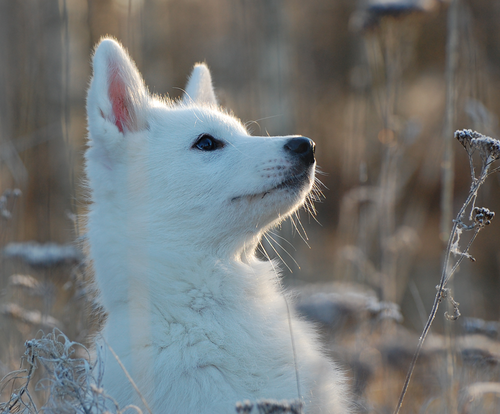File:Baby-wolf-cute-dog-husky-Favim pluspng.com- - Baby Wolf PNG