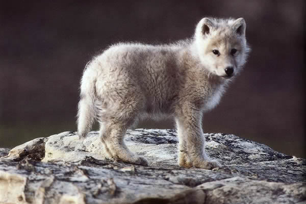 Once inhabiting much of North America, the gray wolf was so heavily hunted  that its PlusPng.com  - Baby Wolf PNG