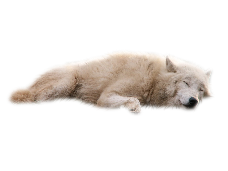 White Wolf PNG by RAYNExstorm PlusPng.com  - Baby Wolf PNG