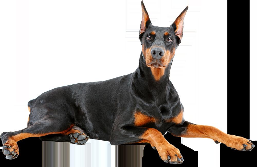 Doberman Pinscher - Bad Dog PNG