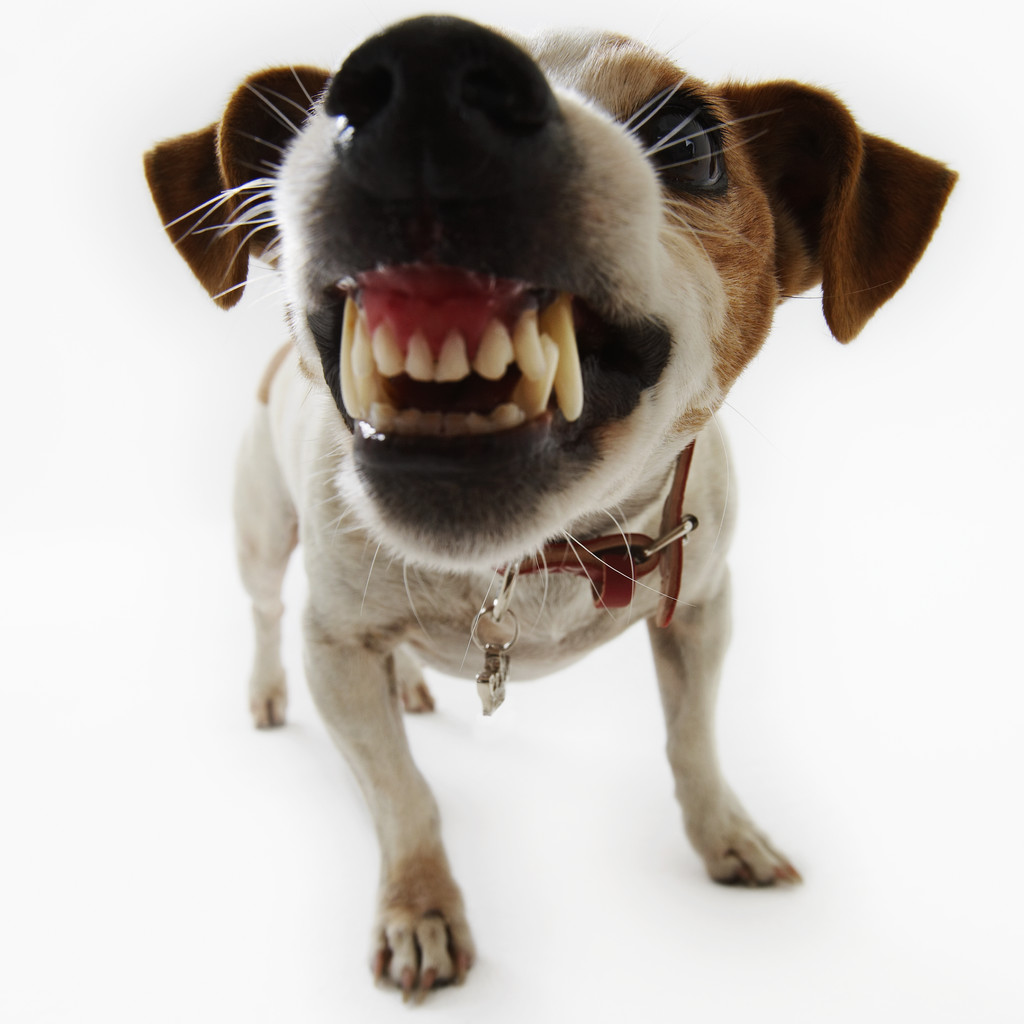 Jack Russell Terrier Snarling - Bad Dog PNG