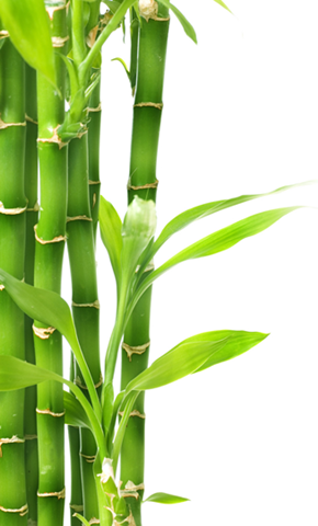 Bamboo Png Hd Transparent Bamboo Hd Png Images Pluspng