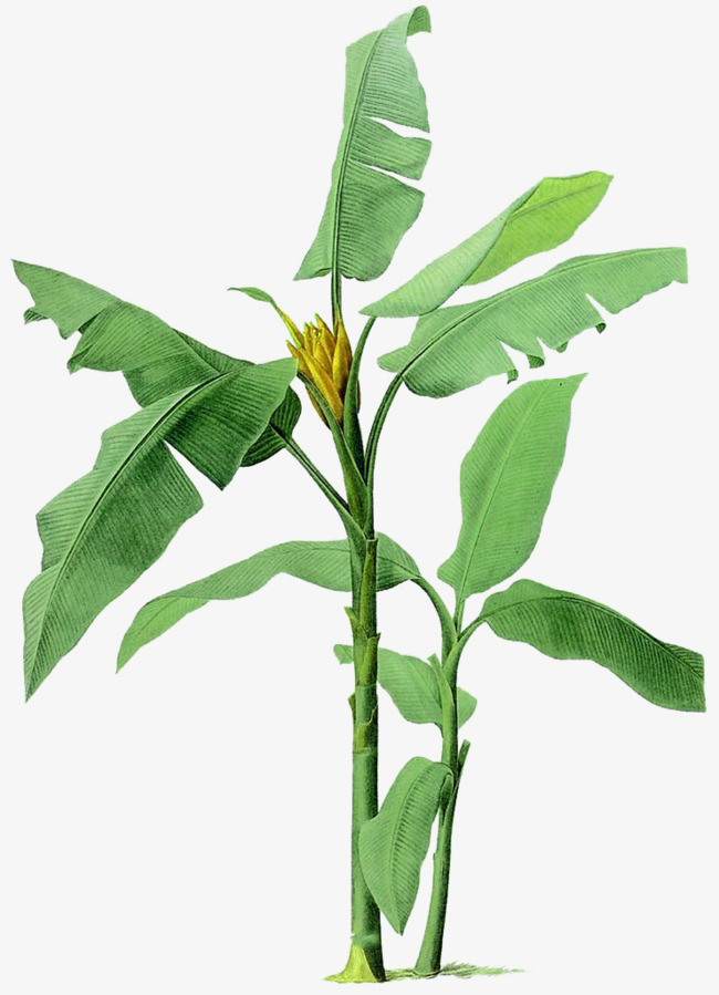 Hand-painted banana tree illustration, Hand Painted, Banana Tree, Plant PNG  Image - Banana Tree PNG HD