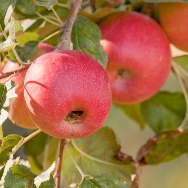 Bare Root Trees | Fruit u0026 Nut Trees | Fruit Trees | Nut Trees | Bareroot Fruit  Trees | Buy Bare Root Trees - Bare Apple Tree PNG