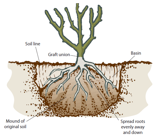 how_to_plant_a_tree_bare_root_apple_tree_Rocky_Mountain. Planting a bare  root apple tree. - Bare Apple Tree PNG