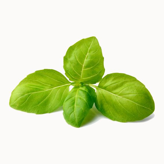 Basil Leaf PNG - 146293