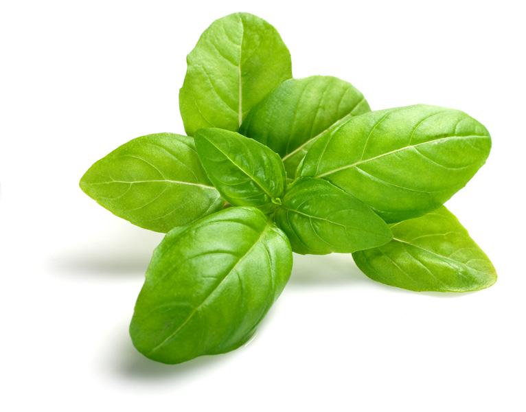Basil Leaf PNG - 146309