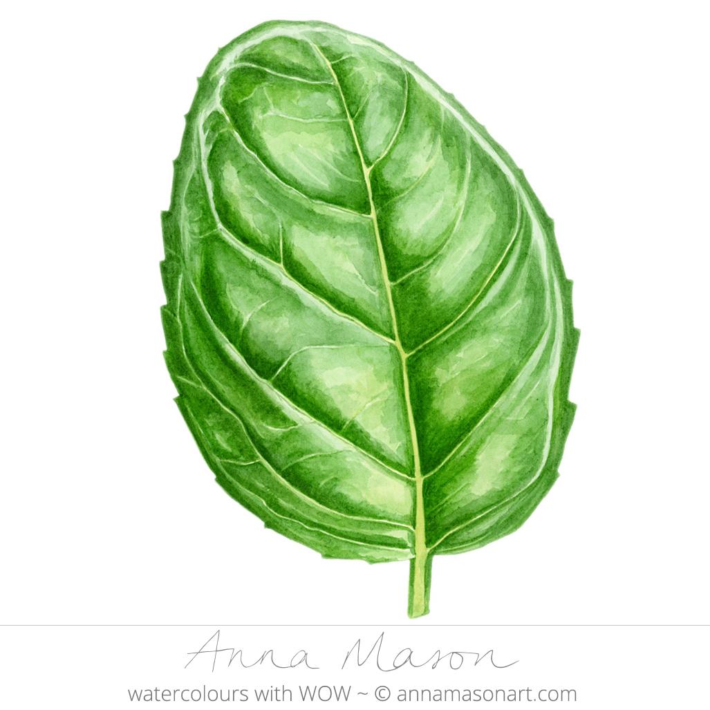 Basil Leaf PNG - 146312