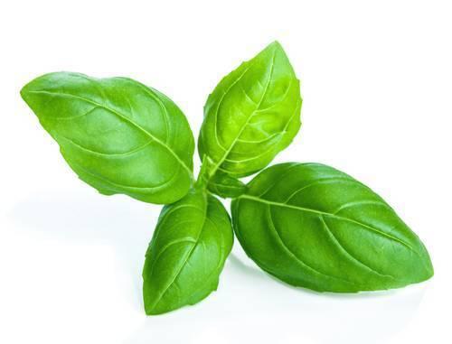 Basil Leaf PNG - 146298