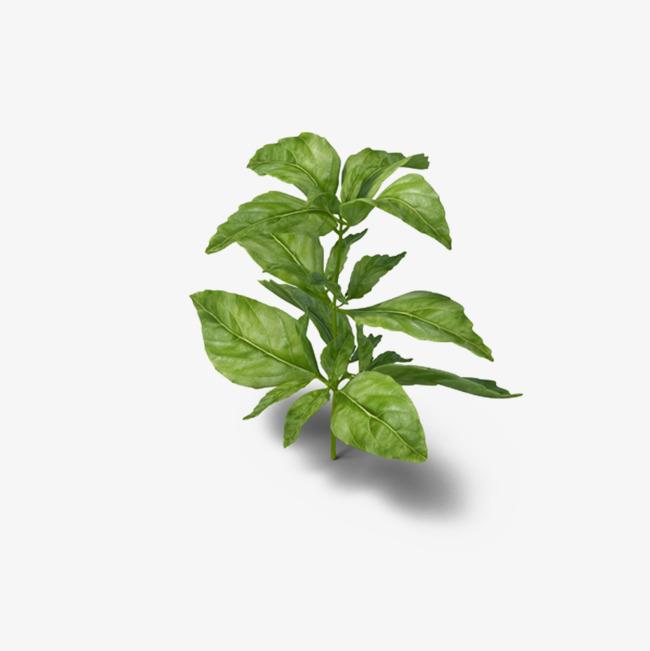 Basil Leaf PNG - 146297