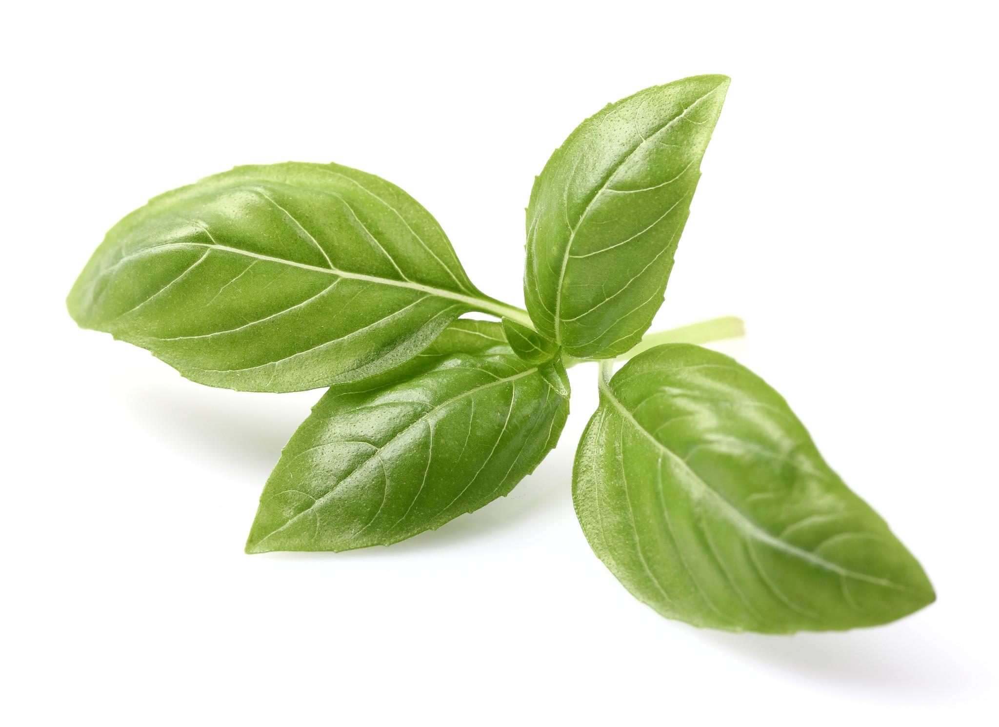 Basil Leaf PNG - 146300