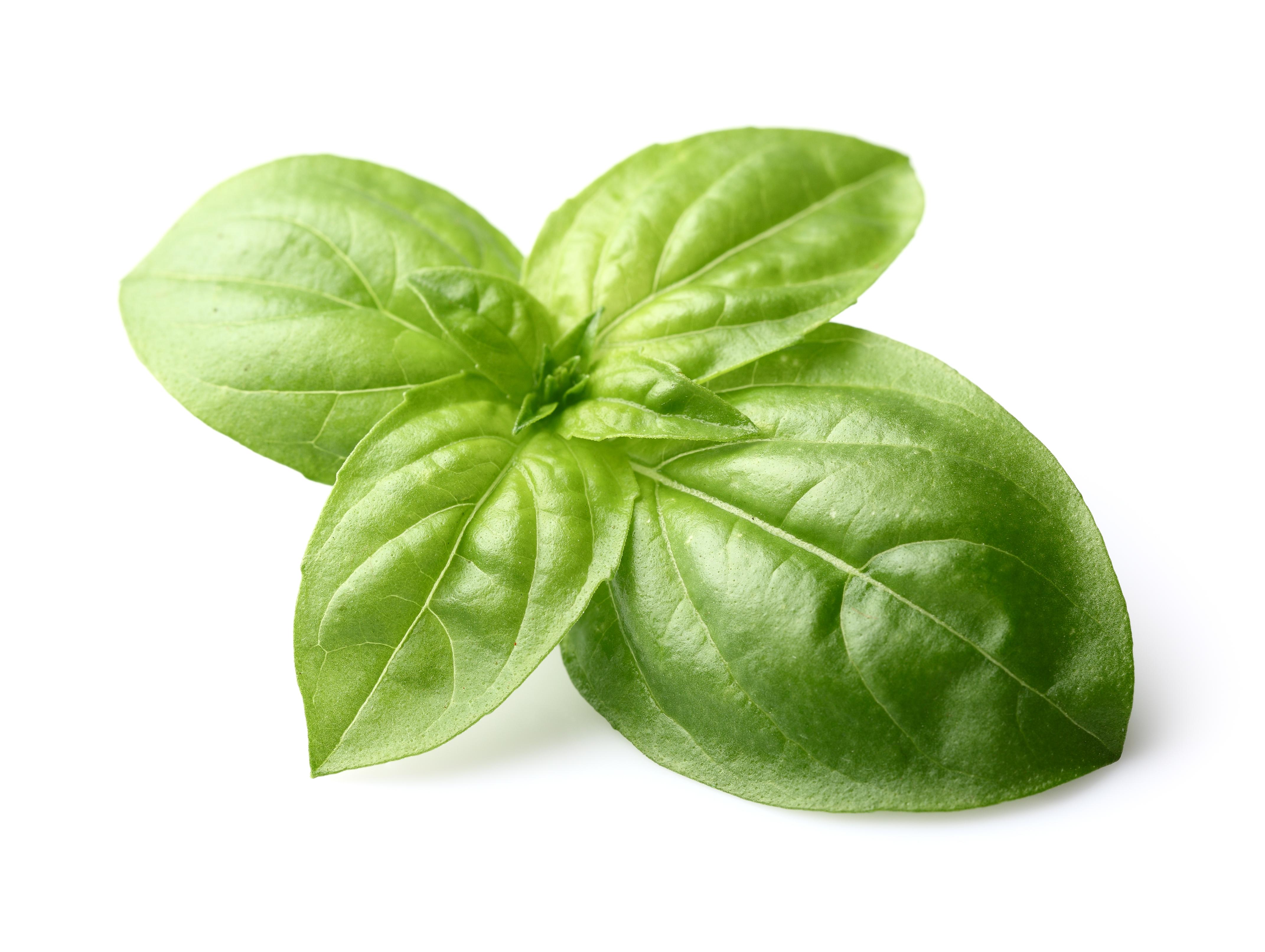 Basil Leaf PNG - 146296