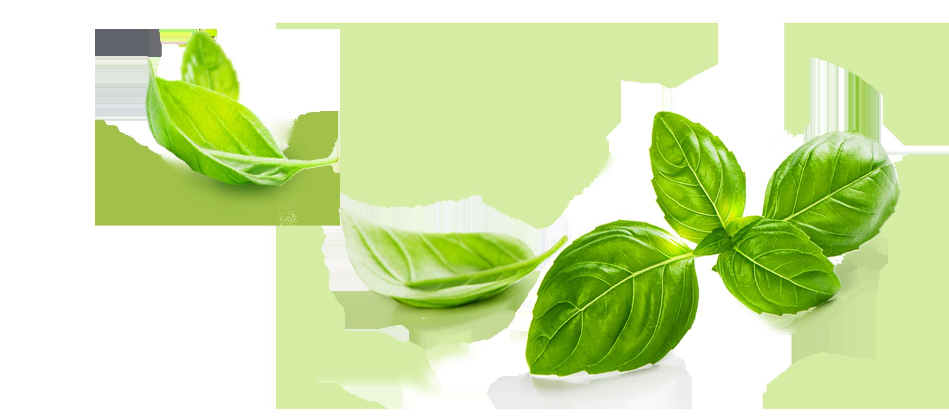 Basil Leaf PNG - 146308