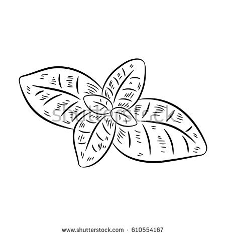 Basil drawing. Isolated on white background. Hand drawn in a graphic style.  Detailed - Basil PNG Black And White