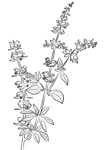 Basil Herb coloring page - Basil PNG Black And White