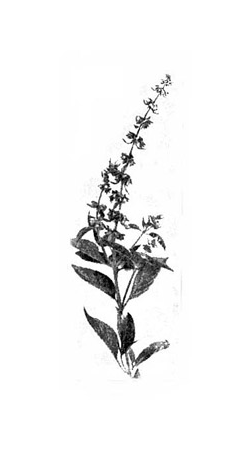 Basil.png PlusPng.com  - Basil PNG Black And White