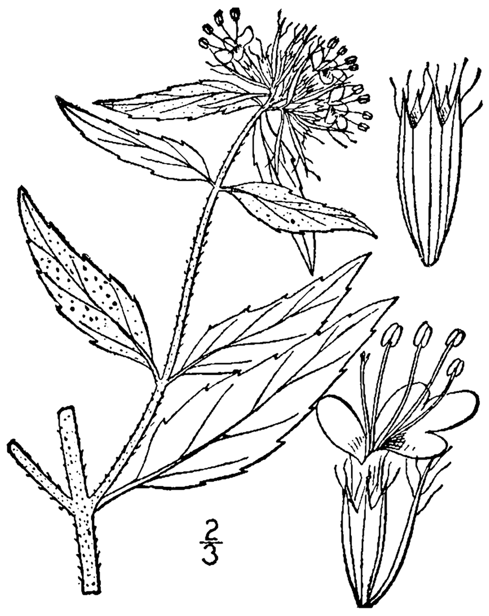 File:Pycnanthemum clinopodioides drawing 1.png - Basil PNG Black And White