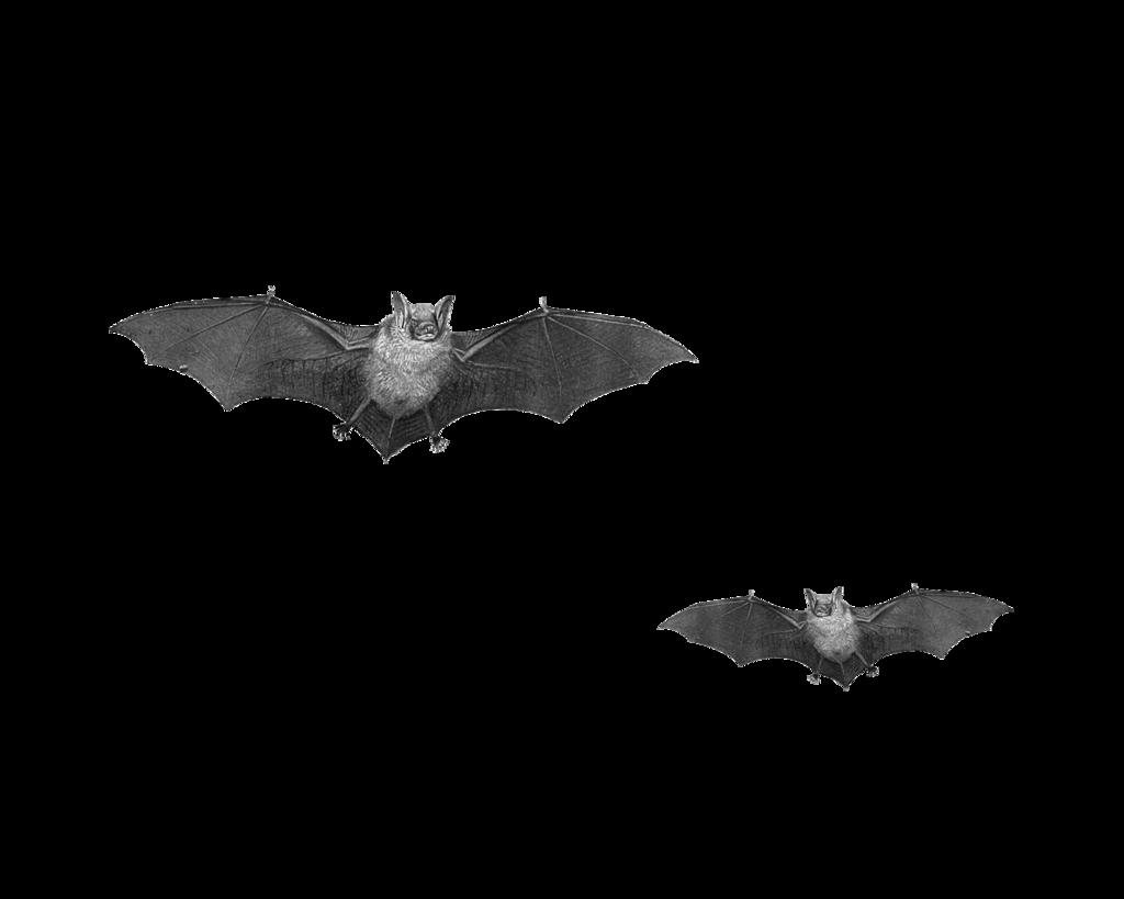 Bat Png Pic PNG Image - Bat HD PNG
