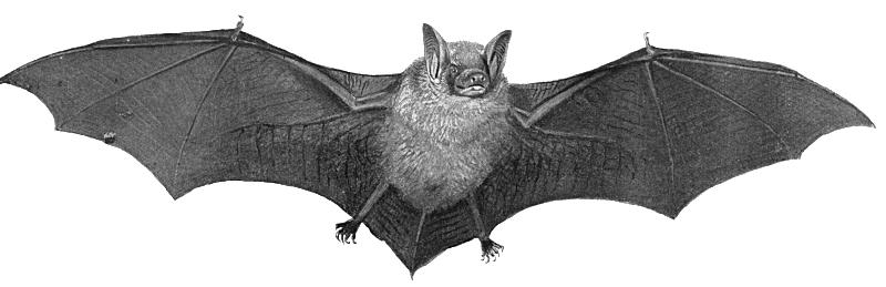Bat Transparent PNG Image - Bat HD PNG
