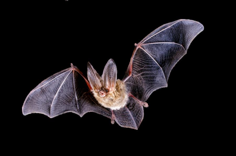 Bat PNG - 10197