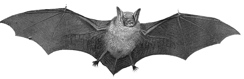 Bat Transparent PNG Image - Bat PNG