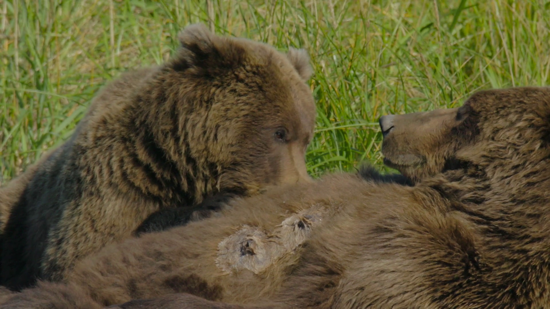 HD Grizzly Bear Cub Nursing with Milk on its Face Stock Video Footage -  VideoBlocks - Bear Face PNG HD