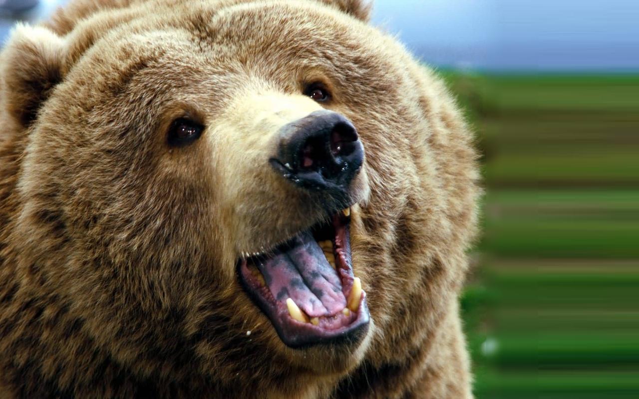 Bear HD PNG-PlusPNG.com-1280 - Bear HD PNG