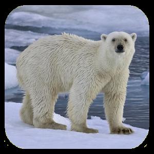 Polar bear HD. Video Wallpaper - Bear HD PNG