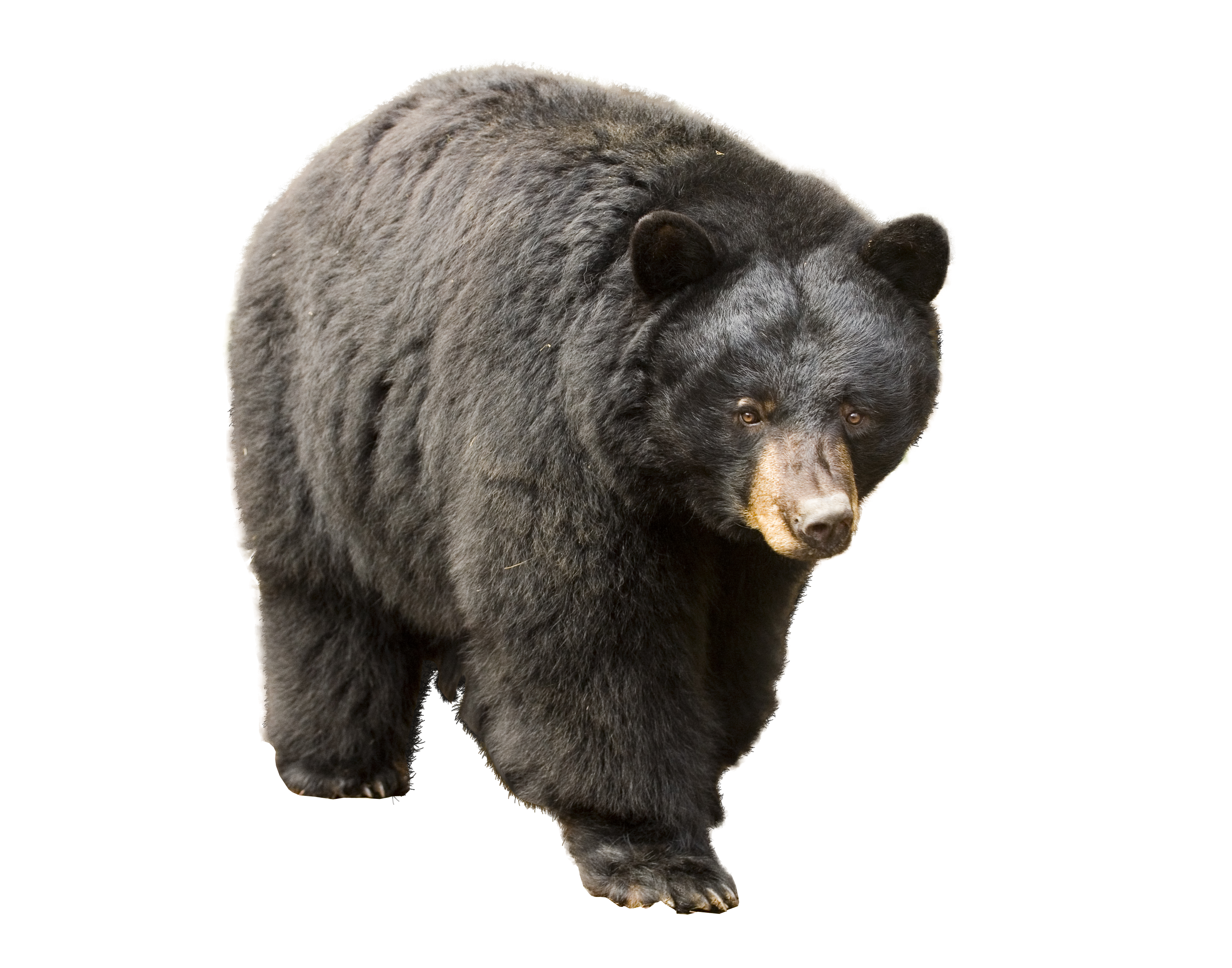 Bear PNG - 13196