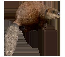 Beaver PNG - 27628