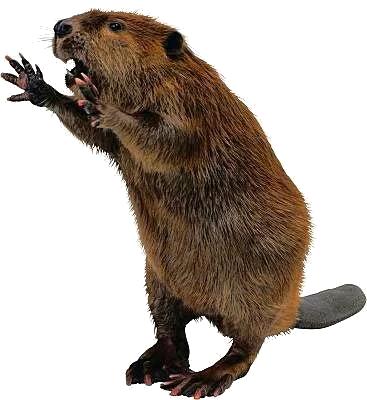Beaver PNG - 27630