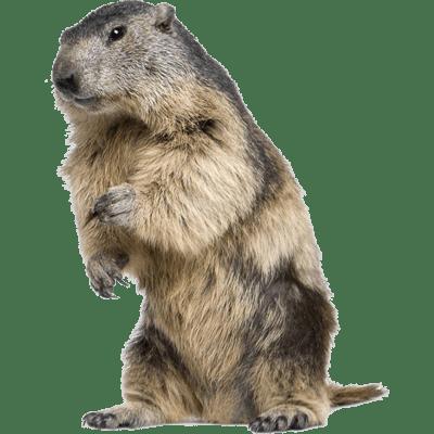 Beaver PNG - 27629