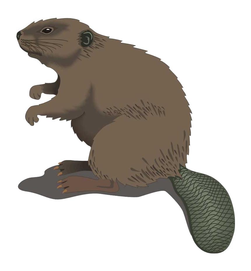 Beaver PNG - 27638