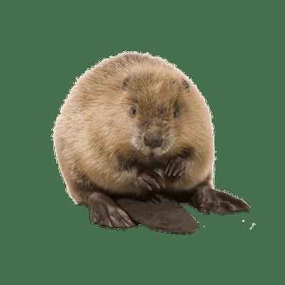 Beaver PNG - 27627