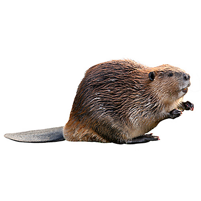 Beaver PNG - 27642