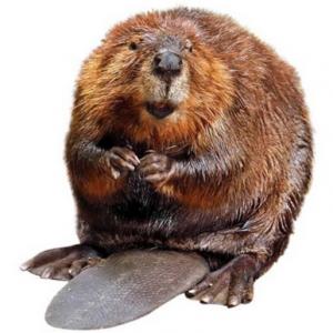 Beaver PNG - 27643