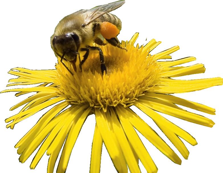 Bee HD PNG - 89226