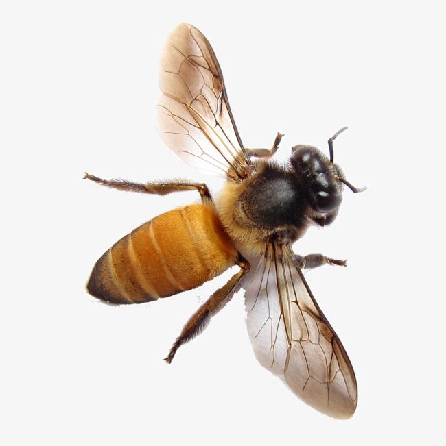 Bee HD PNG - 89225
