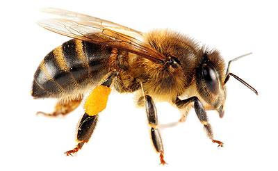 Bee PNG image - Bee HD PNG