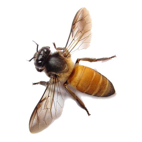 Bee Transparent PNG - Bee HD PNG