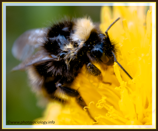 Bumble Bee HD PNG - Bee HD PNG