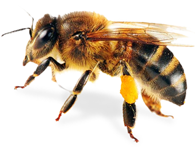 Foul Brood Quiz | NY Bee Wellness Workshops - Bee HD PNG