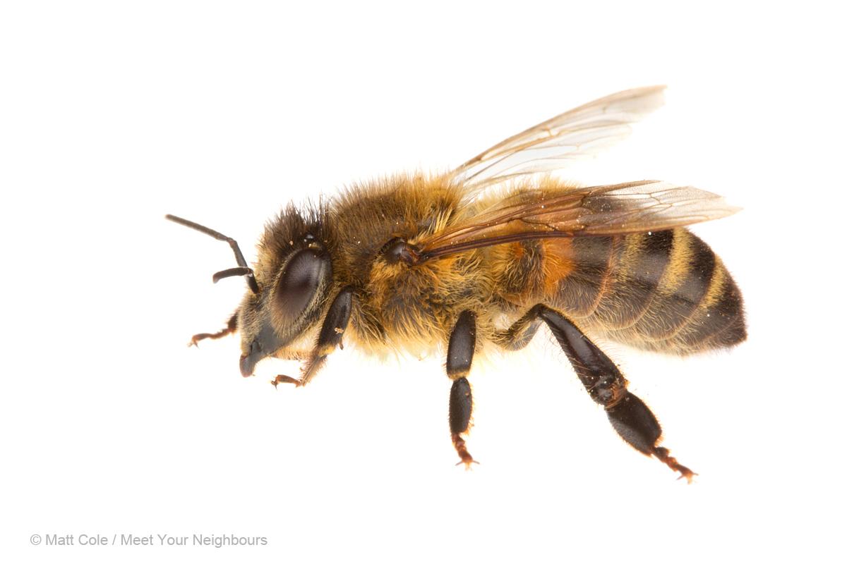 Plantain Weed Heals Bee Stings | Eastern Piedmont Beekeepers - Bee HD PNG