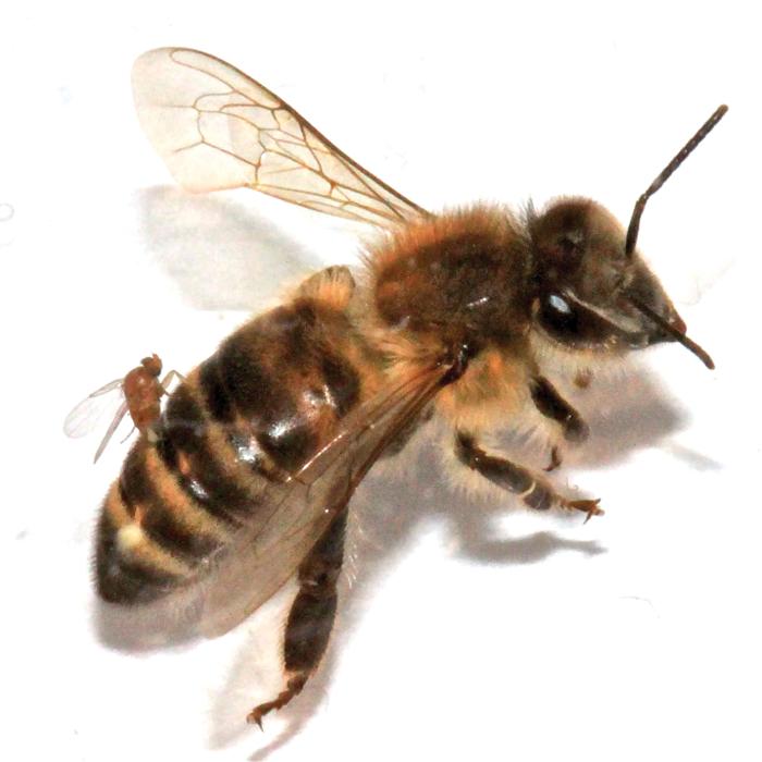 Worker honey bee - photo#21 - Bee HD PNG